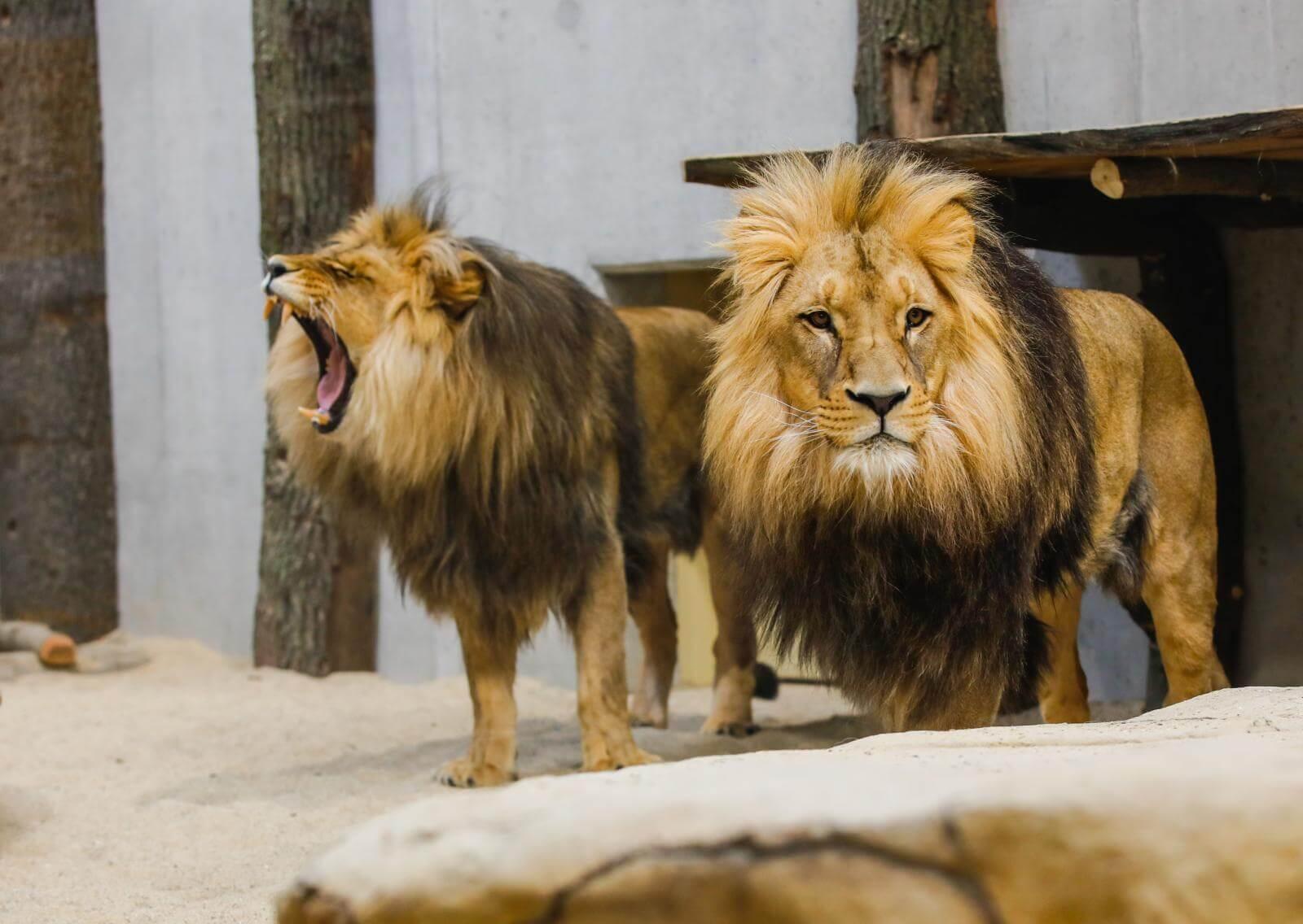 Lwy z opolskiego zoo
